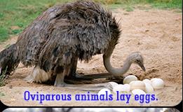 Viviparous vs Oviparous animals