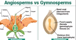 Angiosperm and gymnosperm