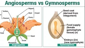 Gymnosperms Vs  Angiosperms: 18 General Differences plus
