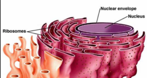 Smooth Endoplasmic Reticulum