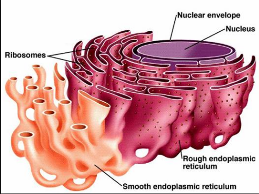 12 Structural Difference Between Smooth And Rough Endoplasmic Reticulum Viva Differences