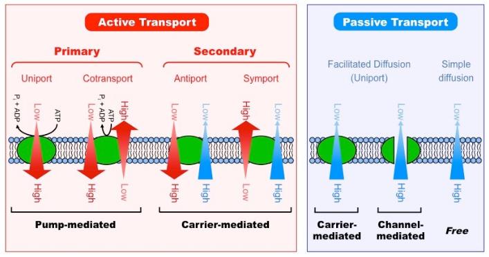 Active Transport Vs. passive Transport: 12 General ...  Example Of Passive Transport