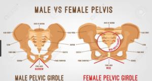 MALE VS FEMALE PELVIS