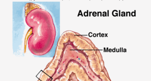 Adrenal Cortex Vs Adrenal Medulla