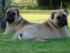 ENGLISH MASTIFF VS BULLMASTIFF