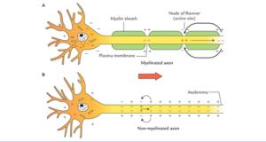 Myelinated Vs Unmyelinated
