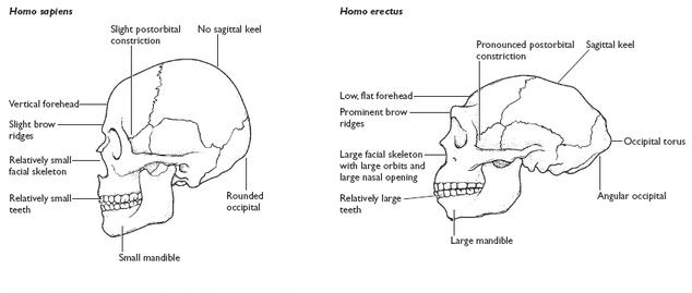 erectus vs. sapiens ile ilgili görsel sonucu