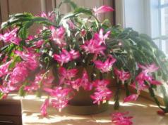short-day-plants