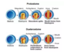 Deuterostomes-And-Protostomes