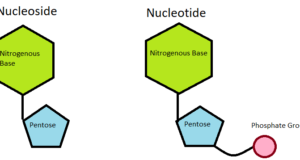 nucleoside-and-nucleotide