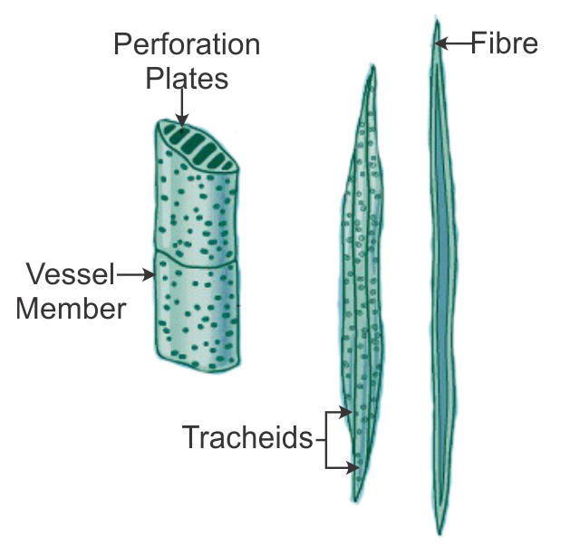 What Is The Difference Between Tracheids And Vessels In ... Xylem Tissue Function